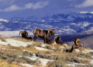 Bighorn Sheep in Payette National Forest