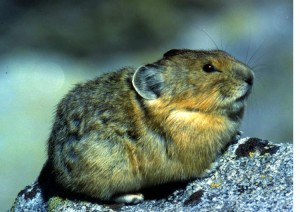 North American Pika